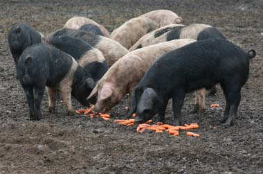 photo of happy Little Ellis Farm pigs snacking on some fresh carrots